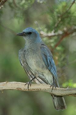 Mexican Jay (Aphelocoma ultramarina) adult, Arizona  -  Rolf Nussbaumer/ npl