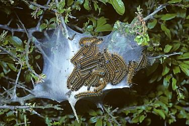 Lackey Moth (Malacosoma neustria) caterpillar in their protective web on hawthorn tree, which they are gradually defoliating, United Kingdom  -  Premaphotos/ npl