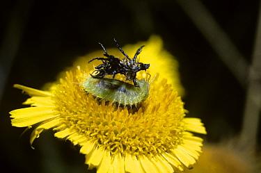 Fleabane tortoise beetle (Cassida murraea) larva holding its camouflaging shield over its back, on Fleabane flower (Asteraceae) UK  -  Premaphotos/ npl
