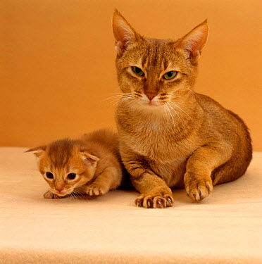 Domestic Cat (Felis catus) Sorrel Abyssinian mother, kneading as her 2-week kitten explores around her  -  Jane Burton/ npl