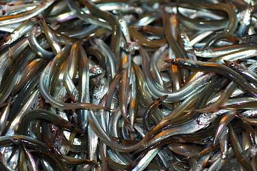 Sand eels (Ammodytes tobianus) fish catch from the Barents sea, Northern Europe  -  David Shale/ npl