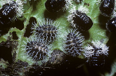 Leaf beetle (Chrysomelidae), larvae and pupae covered with spiny, waxy defensive outgrowths in rainforest, Mexico  -  Premaphotos/ npl
