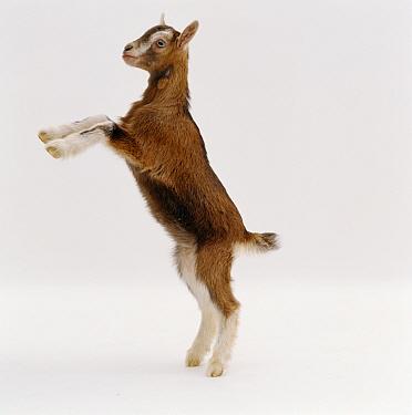 Domestic Goat (Capra hircus) Toggenburg and Pygmy goat kid standing up on rear legs, United Kingdom  -  Jane Burton/ npl