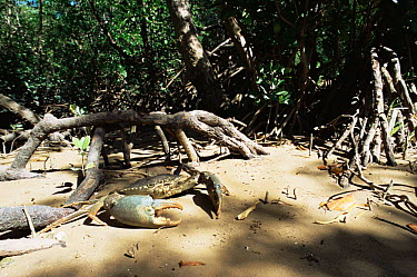 Giant Mud Crab (Scylla serrata) amongst mangroves at low tide, Darwin, NT, Australia  -  Warwick Sloss/ npl