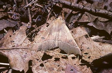 Scalloped Hazel (Odontopera bidentata) camouflaged amongst leaf litter in natural resting pose, United Kingdom  -  Premaphotos/ npl