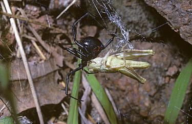 Black Widow (Latrodectus mactans) female in her web with Grasshopper prey, Georgia  -  Premaphotos/ npl