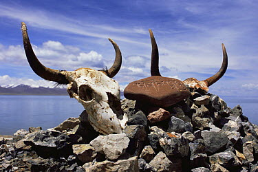Yak skull and Mani Stones at Namtso Lake, Tibet 2007  -  Gavin Maxwell/ npl