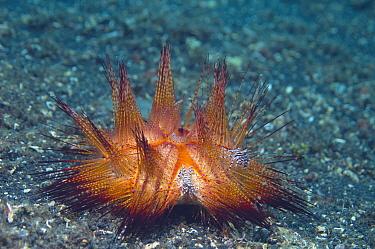 Adam's Urchin Crab (Zebrida adamsii) pair on a False fire urchin (Astropyga radiata) Lembeh Strait, North Sulawesi, Indonesia  -  Georgette Douwma/ npl