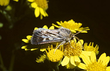 Antler Moth (Cerapteryx graminis) feeding on ragwort, United Kingdom  -  Premaphotos/ npl
