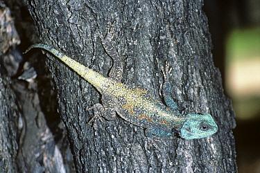 Blue throated, headed Agama lizard (Agama atricollis) male in breeding colours on tree trunk, South Africa  -  Premaphotos/ npl