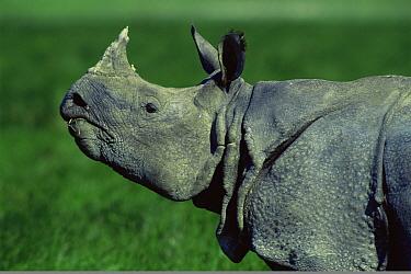 Indian Rhinoceros (Rhinoceros unicornis) head profile, Kaziranga National Park, Assam, India  -  Jean-pierre Zwaenepoel/ npl