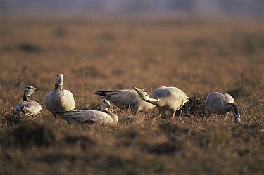 Bar-headed Goose (Anser indicus) Keoladeo Ghana National Park, Bharatpur, Rajasthan, India  -  Jean-pierre Zwaenepoel/ npl