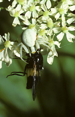 Goldenrod Crab Spider (Misumena vatia) female feeding on a large fly, United Kingdom  -  Premaphotos/ npl