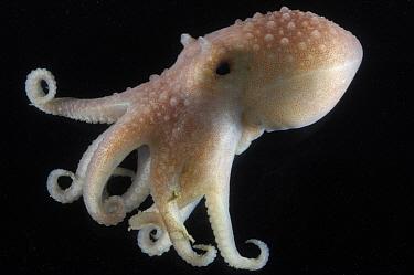 Arctic Octopus (Bathypolypus arcticus) benthic, Barents sea, Northern Europe  -  David Shale/ npl