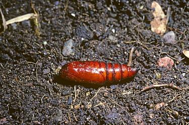 Angle Shades (Phlogophora meticulosa) pupa lying exposed on the ground, United Kingdom  -  Premaphotos/ npl