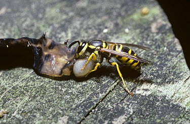 Eastern yellowjacket wasp (Vespula maculifrons) dismembering a caterpillar to take back to the nest as food for the larvae, South Carolina, USA  -  Premaphotos/ npl
