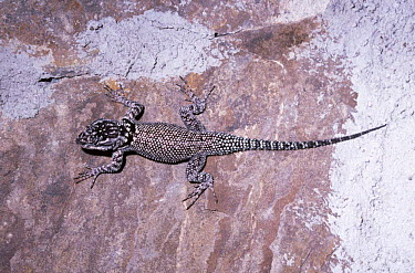 Yarrow's, Mountain spiny lizard (Sceloporus jarrovi) Arizona, USA  -  Premaphotos/ npl