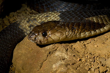 Egyptian Snouted Cobra (Naja annulifera) on rock, Captive, Whipsnade Zoo, found South East Africa  -  Rod Williams/ npl