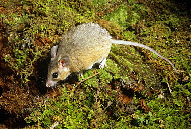 Spiny egyptian mouse (Acomys dimiditus) captive, from Egypt  -  Barry Mansell/ npl