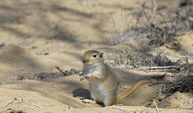 Mongolian Gerbil (Meriones unguiculatus), alert and looking out for danger in the Chinese desert  -  George Chan/ npl