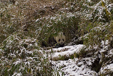 Giant Panda (Ailuropoda melanoleuca) peering out from snow covered Bamboo, Changqing Reserve, Qinling Mountains, 06 'Wild China' series  -  Gavin Maxwell/ npl