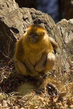 Golden Snub-nosed Monkey (Rhinopithecus roxellana) Zhouzhe reserve, Qinling mountains, 06, China 'Wild China' series  -  Gavin Maxwell/ npl