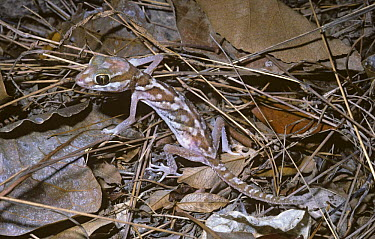 Madagascan painted, Big headed gecko (Paroedura pictus) on forest floor, Madagascar  -  Premaphotos/ npl