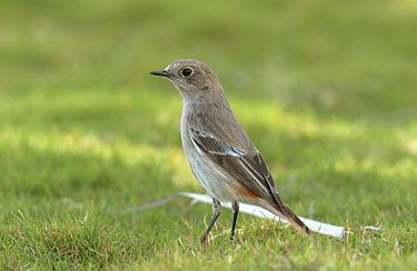 Eversmann's redstart (Phoenicurus erythronotus) female, winter plumage, Jebel Hafeet, UAE  -  Hanne & Jens Eriksen/ npl
