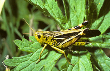 Tooth-legged Grasshopper (Arcyptera fusca) male in the Alps, Switzerland  -  Premaphotos/ npl