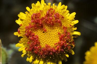 Mites (Acari) group assembling on a flower in the Negev Desert in springtime, Israel  -  Premaphotos/ npl
