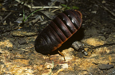Cockroach (Aptera fusca) hissing and standing on its head in a threat to squirt a defensive liquid, South Africa  -  Premaphotos/ npl
