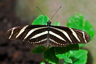 Zebra Butterfly (Heliconius charitonius) perching on leave, Monteverde National Park, Costa Rica  -  Philippe Clement/ npl