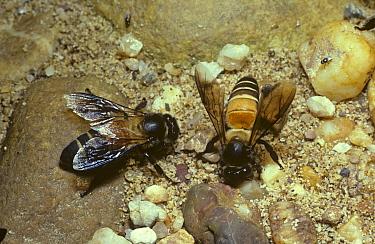Giant oriental honey bee (Apis dorsata) worker bees drinking on riverside sand in rainforest, Malaysia  -  Premaphotos/ npl