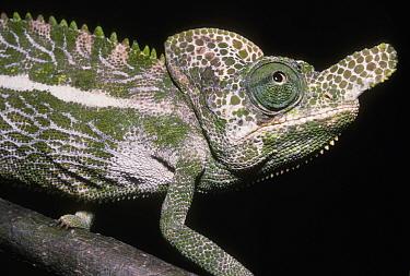 Snub nosed, Labord's chameleon (Chamaeleo, Furcifer labordi) male in tropical dry forest, Madagascar  -  Premaphotos/ npl