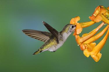 Costa's Hummingbird (Calypte costae) young male feeding on Yellow Trumpet Flower (Tecoma stans) Tuscon, Arizona  -  Rolf Nussbaumer/ npl