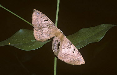 Moth (Rolepa spec nova) destroying its symmetrical appearance by bending its body to one side and resembling a dead leaf, in rainforest, Brazil  -  Premaphotos/ npl