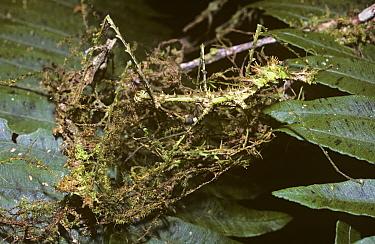 Stick insect, walkingstick (Circia sp) mimicking moss, in rainforest, Madagascar  -  Premaphotos/ npl