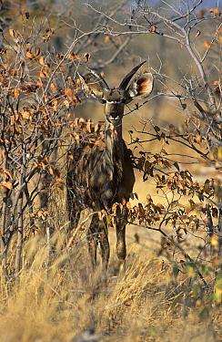Greater Kudu (Tragelaphus strepsiceros) juvenile amongst mopane trees Estosha National Park, Namibia  -  Francois Savigny/ npl