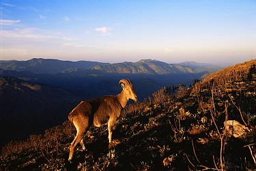 Nilgiri Tahr (Hemitragus hylocrius) endangered, in montane evergreen shola forest habitat, Western Ghats, SW India  -  Jean-pierre Zwaenepoel/ npl