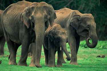 Asian Elephant (Elephas maximus) herd Nagarhole National Park, Karnataka, India  -  Jean-pierre Zwaenepoel/ npl