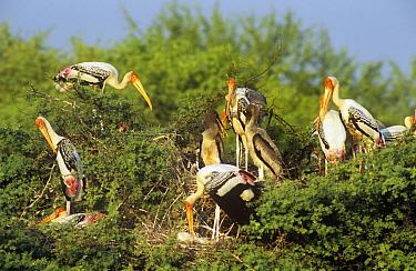 Painted Stork (Mycteria leucocephala) nesting colony, Keoladeo Ghana National Park, Bharatpur, Rajasthan, India  -  Jean-pierre Zwaenepoel/ npl