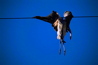Chilean Flamingo (Phoenicopterus chilensis) killed by colliding with power line La Pampa, Argentina  -  Gabriel Rojo/ npl