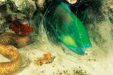 White-eyed Moray (Siderea thyrsoidea) and Bleeker's parrotfish sleeping wrapped in mucus The bubble prevents predators from smelling the fish while it sleeps  -  Doug Perrine/ npl