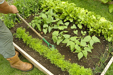 Gardener using a hand hoe to till soil between carrots, 'Nanco' variety, and French Beans, 'Pongo' variety, in a small raised bed vegetable plot, UK, August  -  Gary K. Smith/ npl