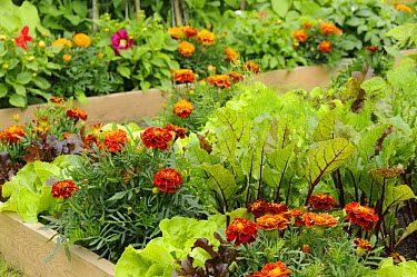 Flowers and vegetable in a raised bed, including, Marigolds, 'honeycombe' variety, Lettuce, 'Suzan' variety and Beetroot, 'Solo' variety, in an urban garden, Norfolk UK, JUne  -  Gary K. Smith/ npl