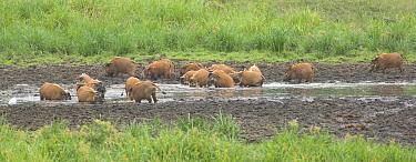 Red River Hog (Potamochoerus porcus) wallowing at Langoue Bai, Ivindo National Park, Gabon  -  Nick Garbutt/ npl