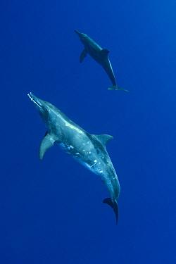 Rough-toothed Dolphin (Steno bredanensis), Kona, Hawaii  -  Doug Perrine/ npl