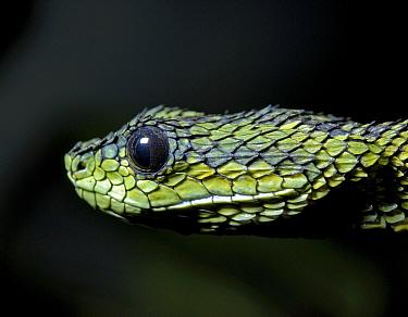 Sedge, Great Lakes, Black and green bush viper (Atheris nitschei) captive, from Tanzania  -  Tony Phelps/ npl