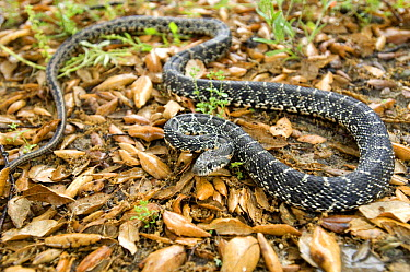 Horseshoe whip snake (Coluber hippocrepis) Portugal  -  Luis Quinta/ npl