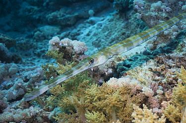 Bluespotted Cornetfish (Fistularia commersonii) Egypt, Red Sea  -  Georgette Douwma/ npl
